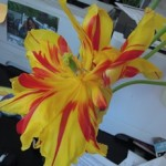 cherry_blossom_tulip_16